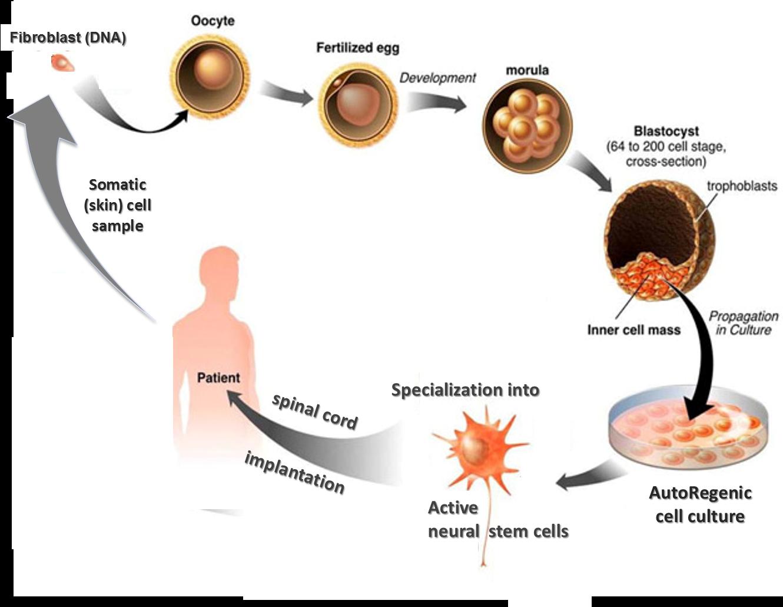 AutoRegenic Cell Laboratories Ltd - Technology Diagram