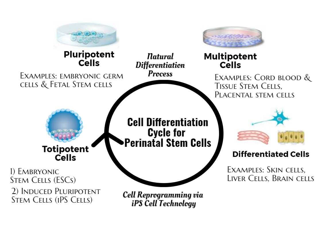 Cell Differentiation Cycle for Perinatal Stem Cells