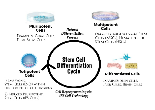 stem cell types | What are Stem Cells, Exactly? [Fact Sheet]