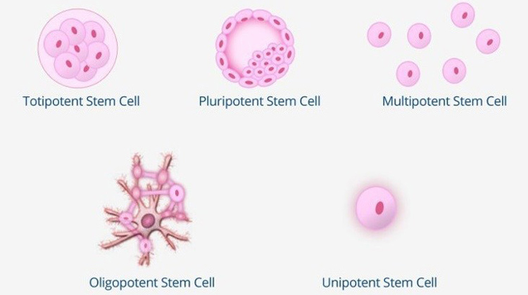 Do You Know The 5 Types Of Stem Cells Bioinformant